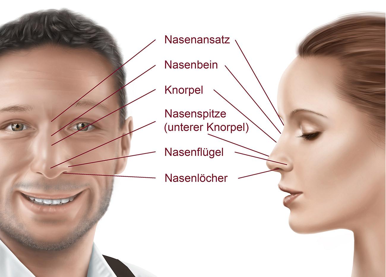 Nase aufbau die Die menschliche
